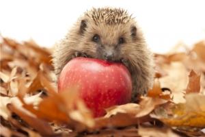 Gefährdete Igel im Herbst