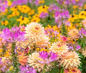 Gartenarbeiten im August - Herbstblumen Dahlien