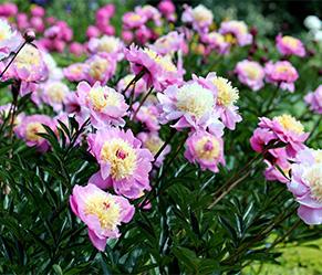 Gartenarbeiten im August - Herbstblumen Pfingstrosen