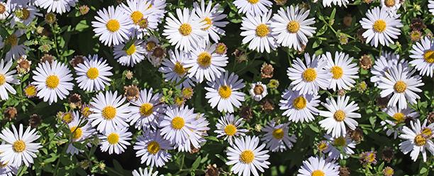 Gartenarbeiten im August - Herbstblumen weiße Astern