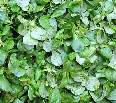 Gartenarbeiten im August - Vogerlsalat pflanzen
