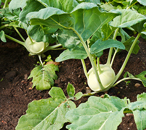 Gartenarbeiten im Februar - Kohlrabi