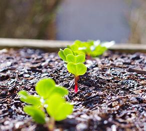 Gartenarbeiten im Februar - Radieschen pflanzen