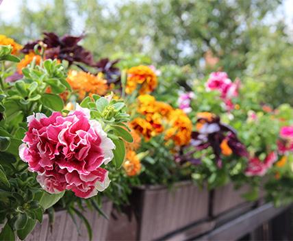 Gartenarbeiten im Juni - Balkonblumen