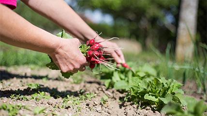 Gartenarbeiten im Juni - Radieschen pflanzen