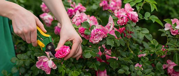 Gartenarbeiten im März - Rosen schneiden