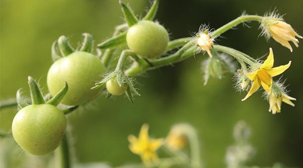 Gartenarbeiten im Mai - Tomaten pflanzen