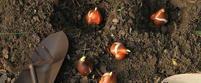 Gartenarbeiten im November - Frühlingsblumen pflanzen