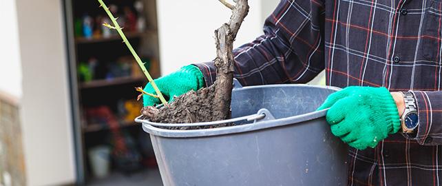 Gartenarbeiten im November - Rosen pflanzen