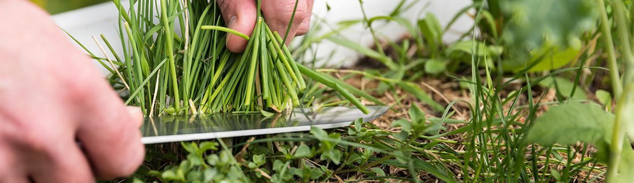 Gartenarbeiten im November - Schnittlauch überwintern