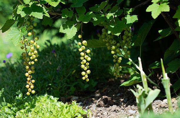 Gartenarbeiten im September - Ribisel pflanzen
